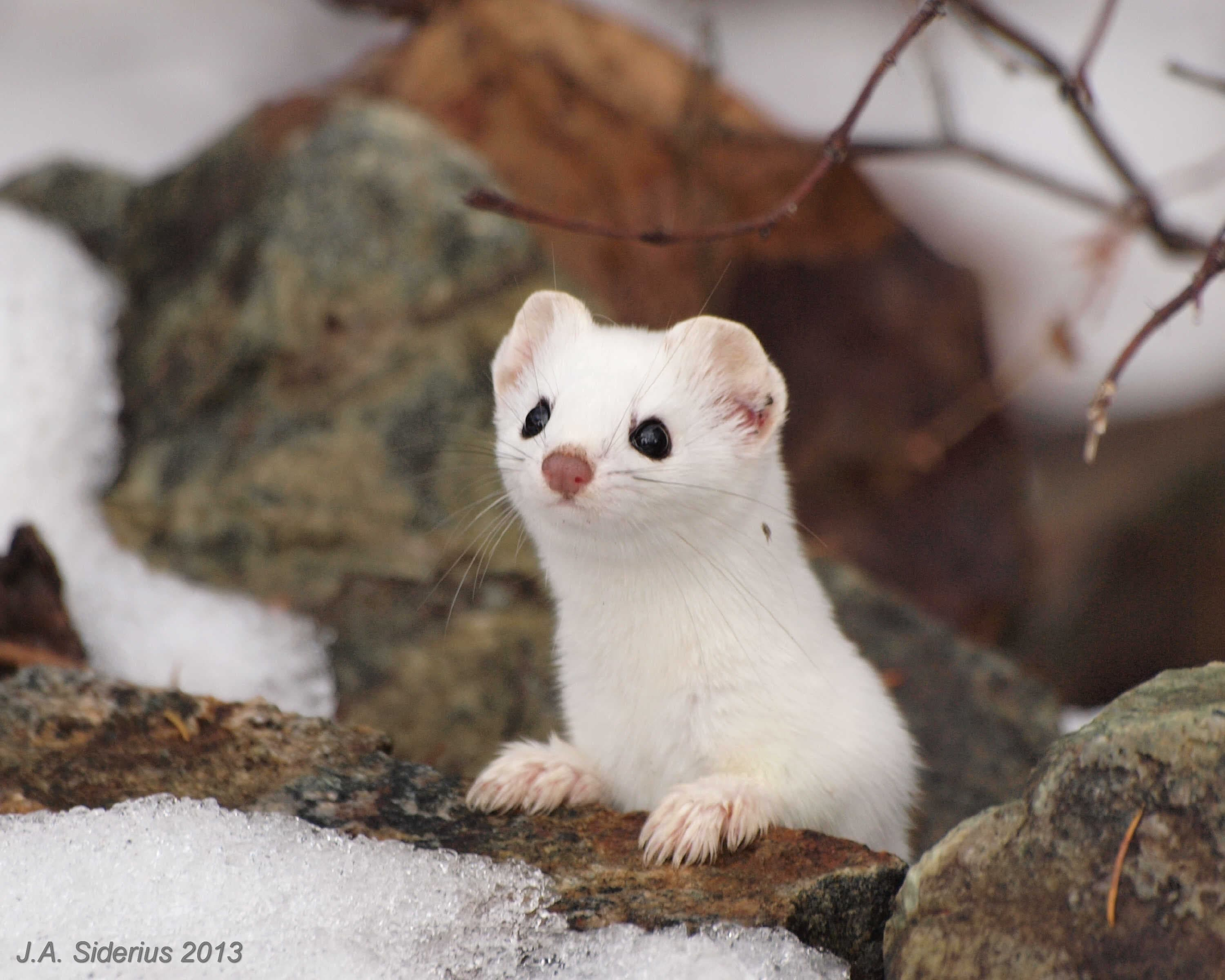 Ermine HQ wallpapers