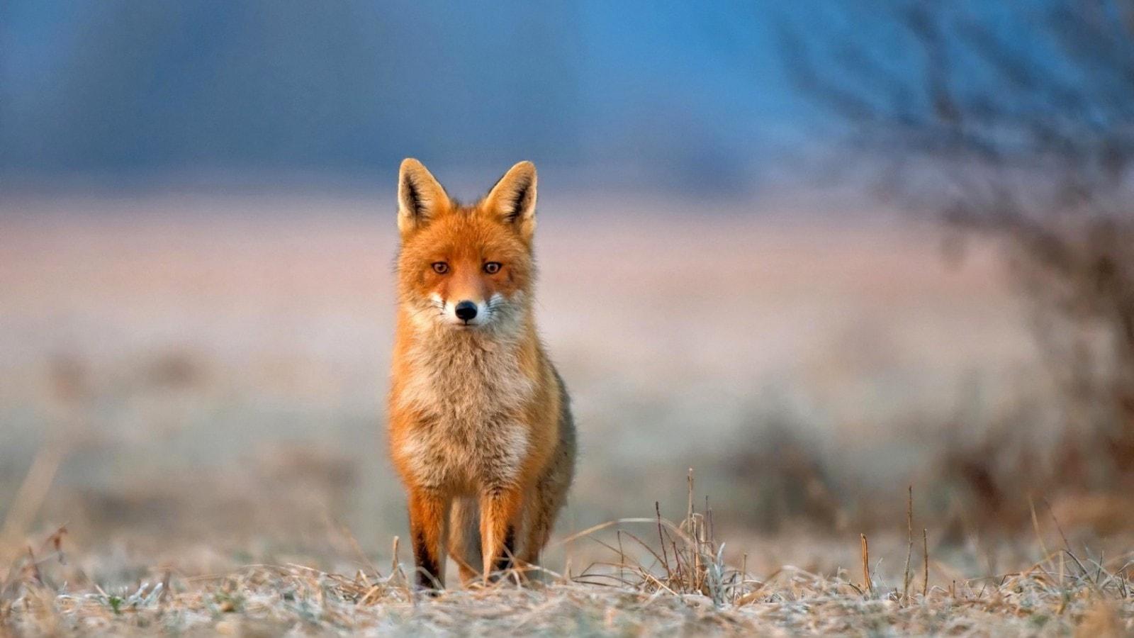 Fox HD pics