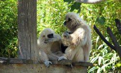 Gibbon HD pics