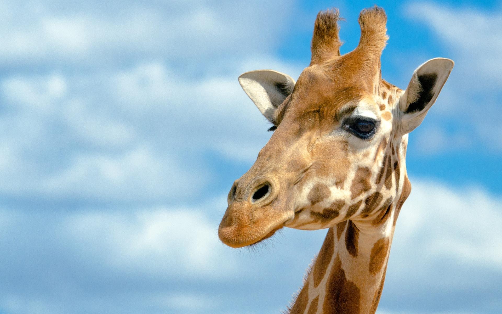 Giraffe HD pics