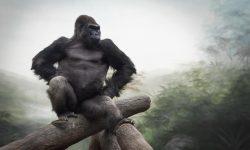 Gorilla HD pics