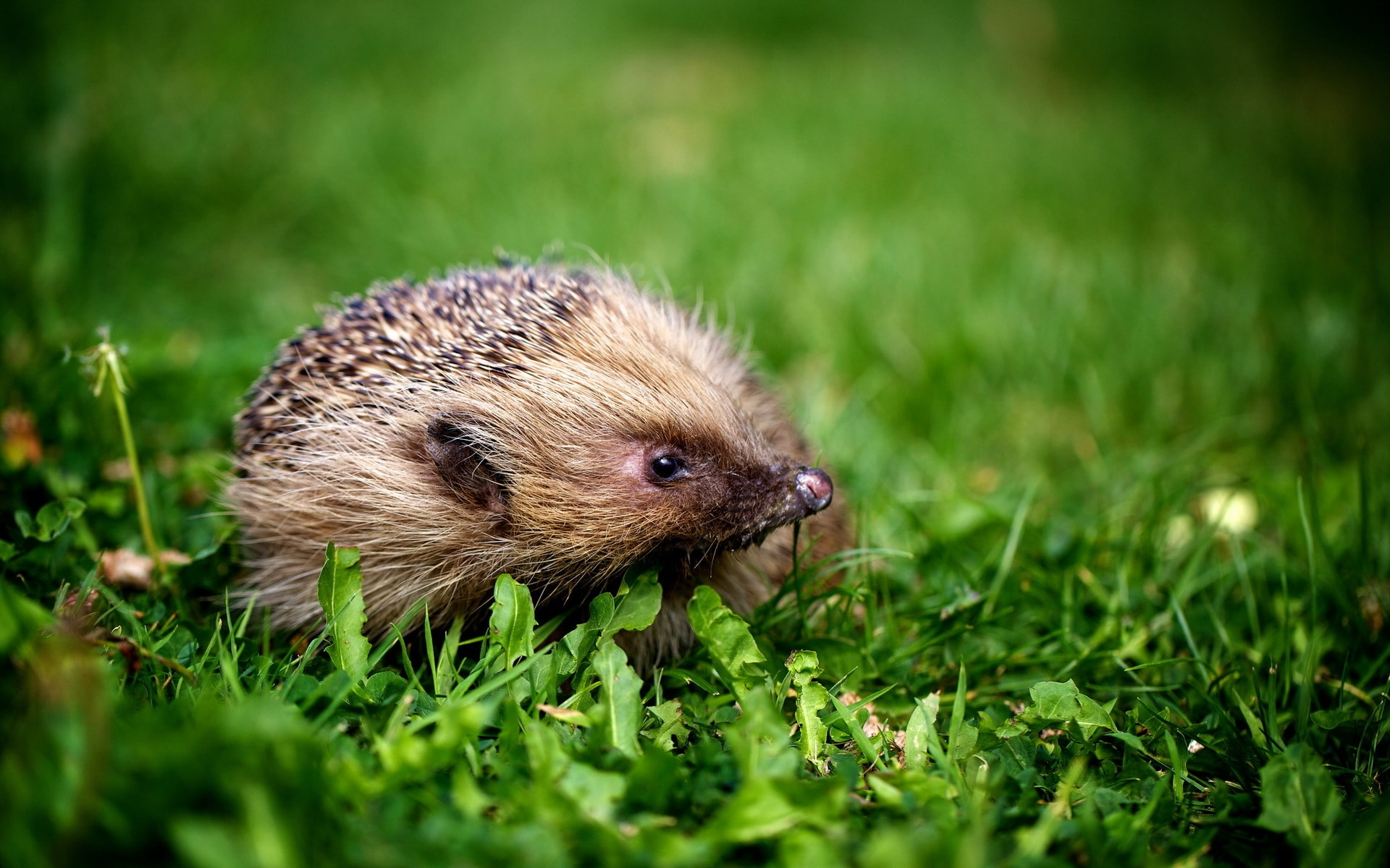 Hedgehog HD pics