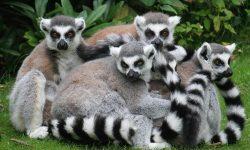 Lemur HD pics