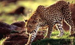 Leopard HD pics