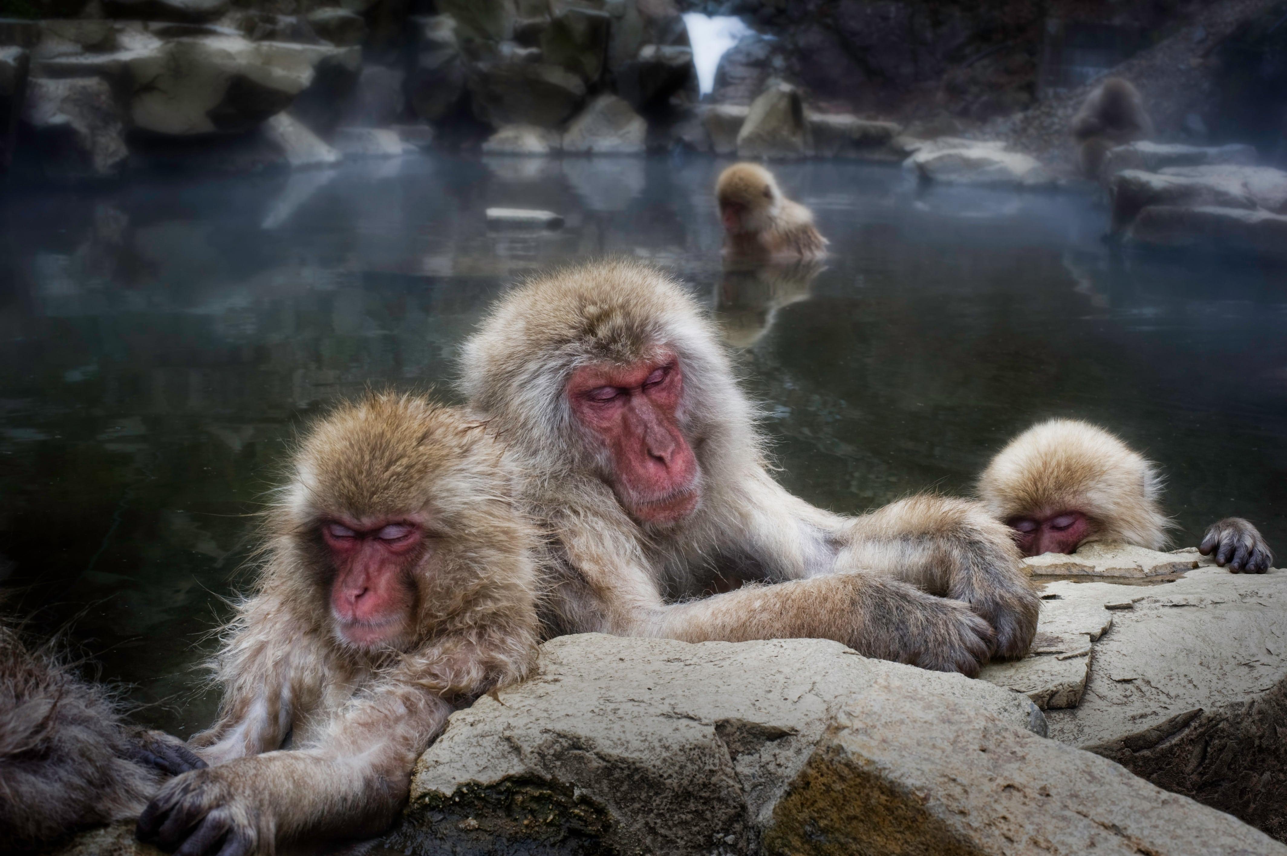 Macaque HD pics
