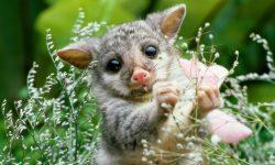 Opossum HD pics