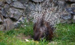 Porcupine HD pics