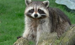 Raccoon HD pics