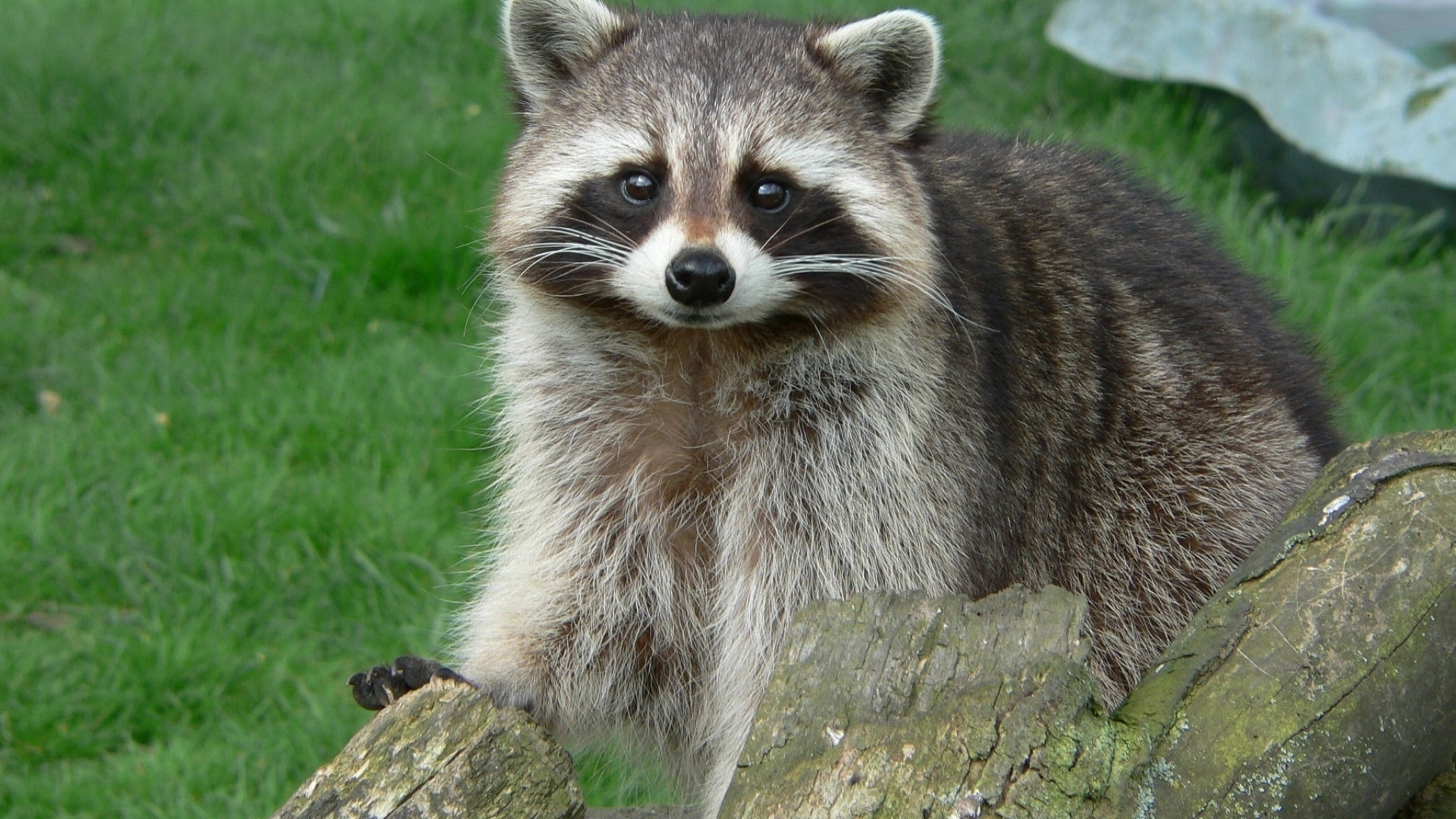 Raccoon HD pics
