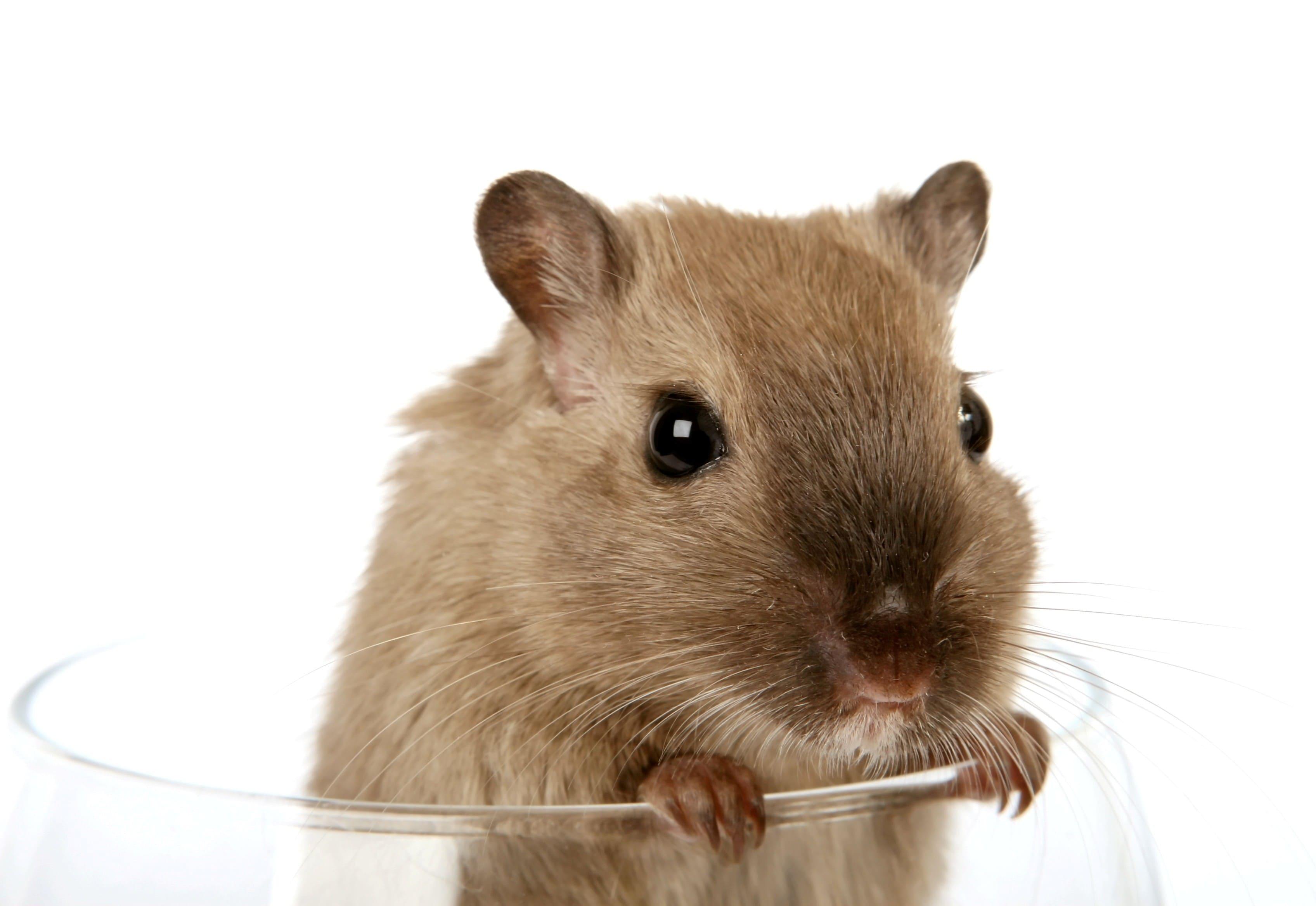 Rat HD pics