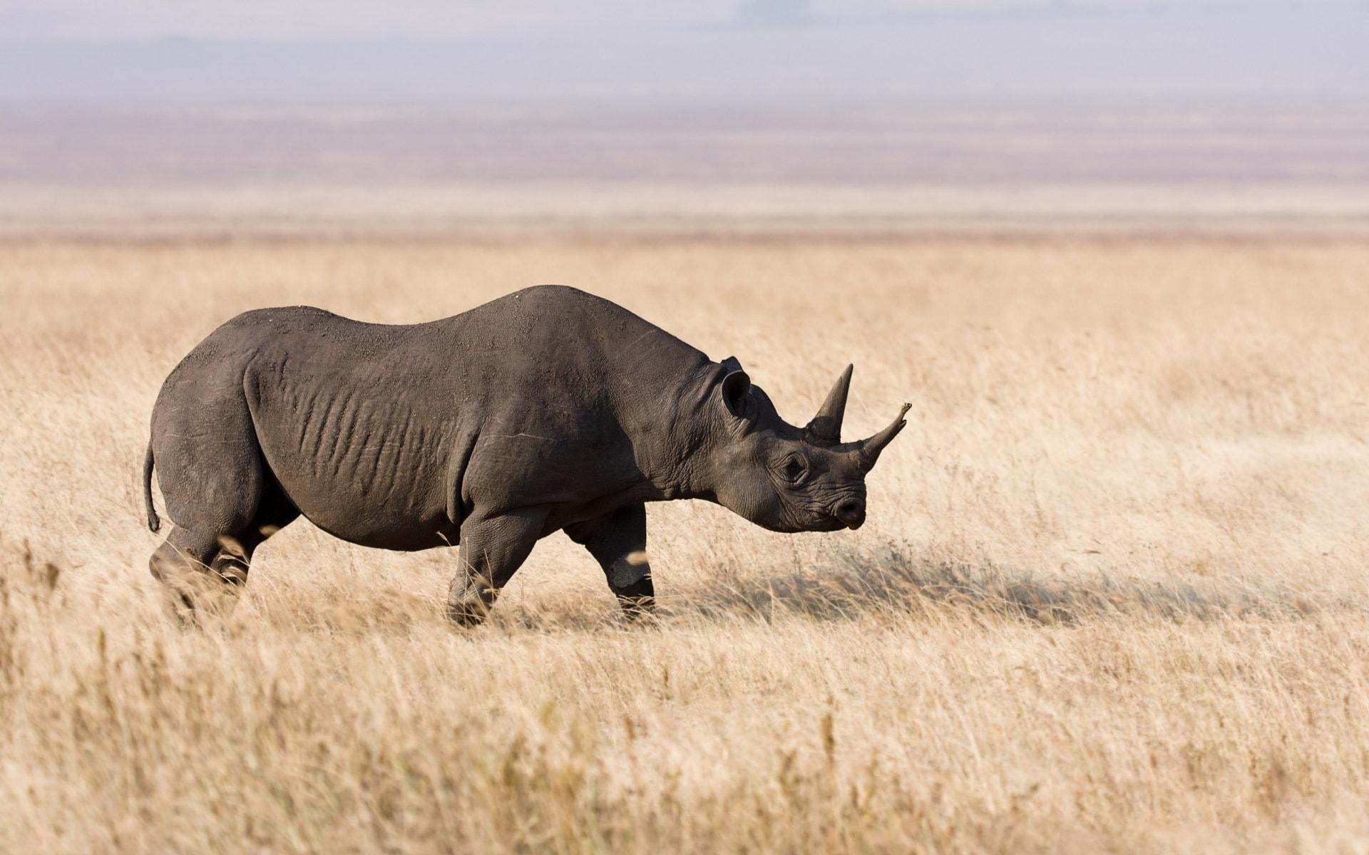 Rhinoceros HD pics