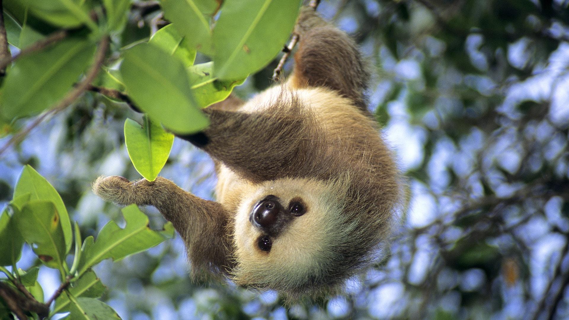 Sloth HD pics