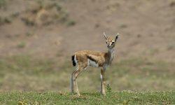 Springbok HD pics