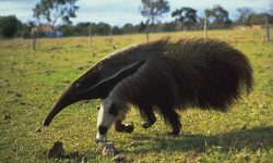 Ant-Eater HD pictures