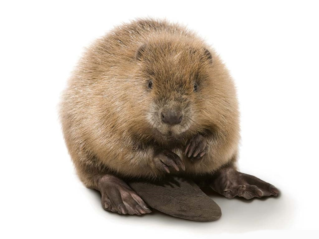 Beaver HD pictures