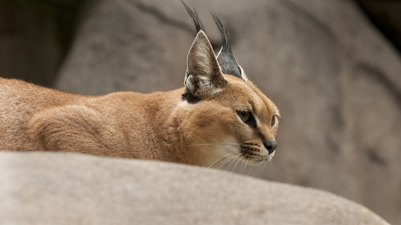 Caracal HD pictures