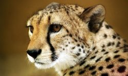 Cheetah HD pictures