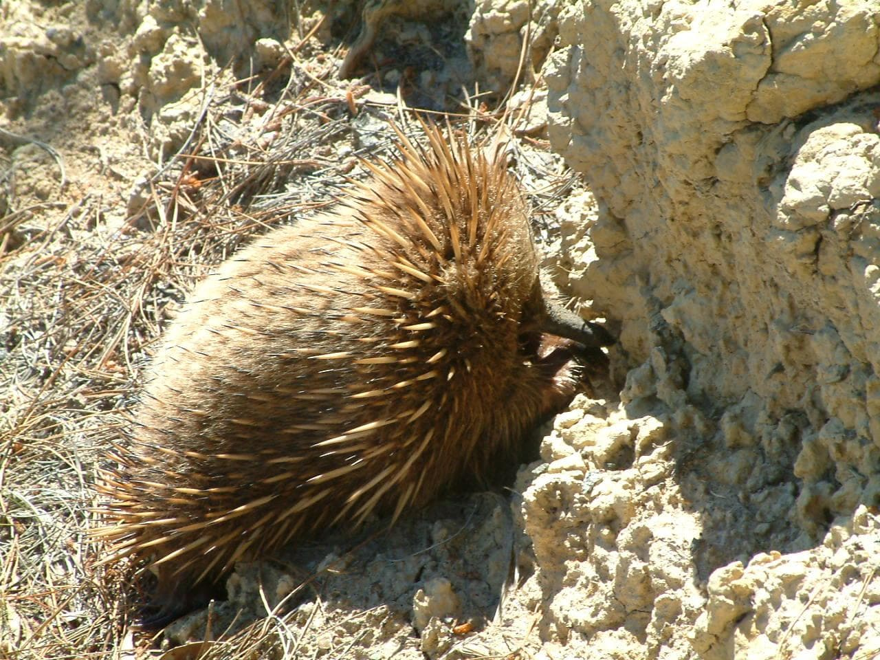 Echidna HD pictures