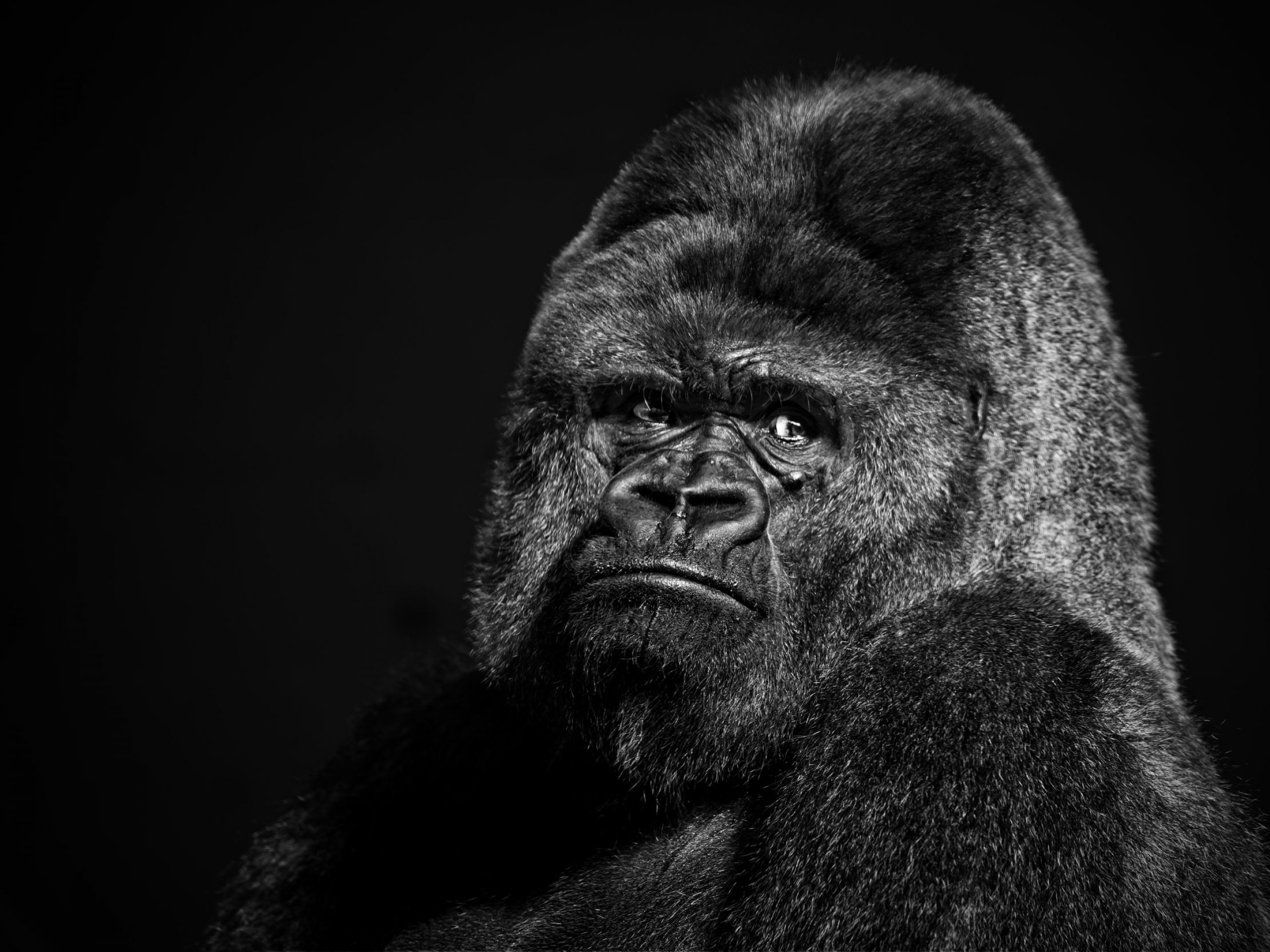 Gorilla HD pictures