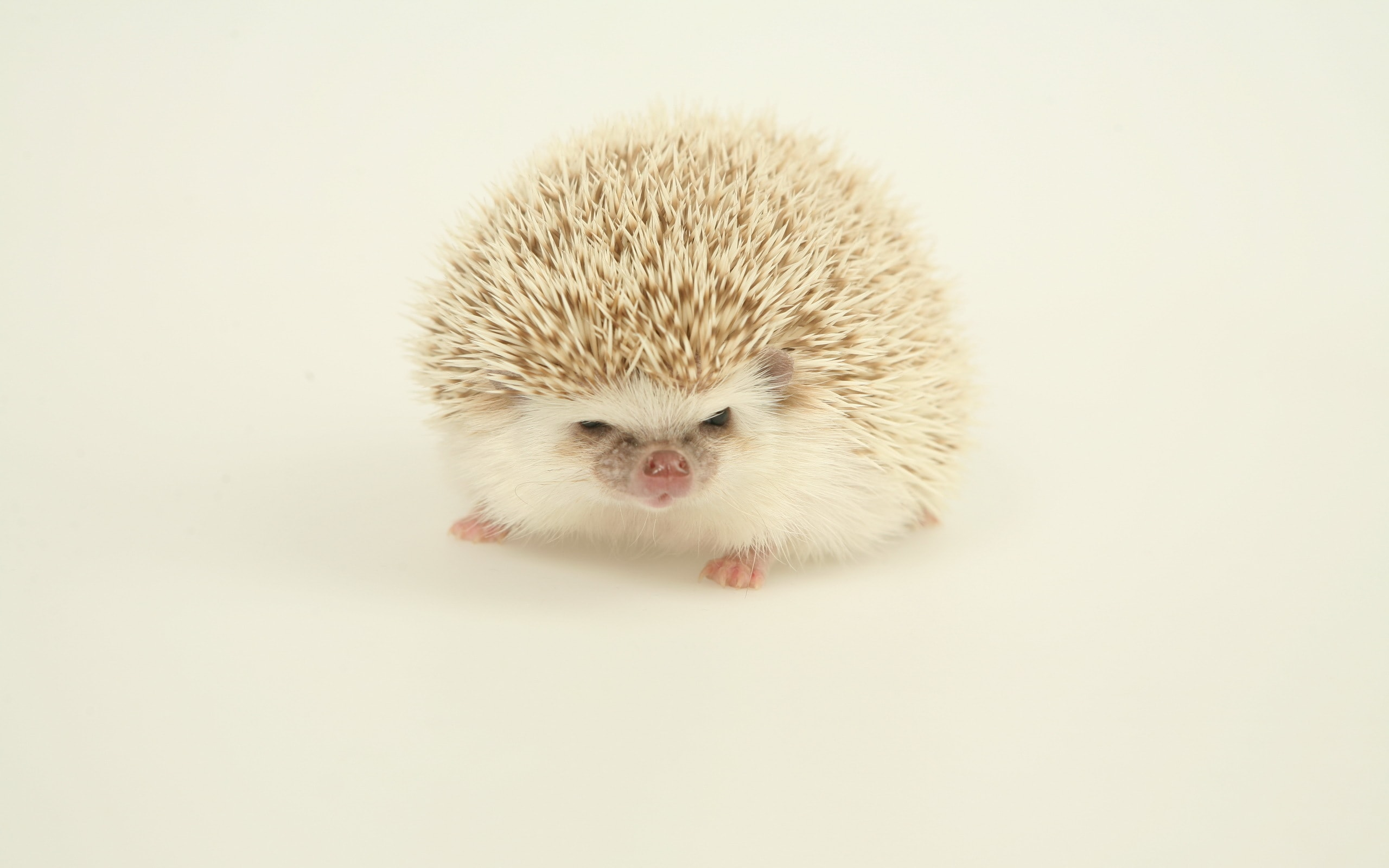 Hedgehog HD pictures
