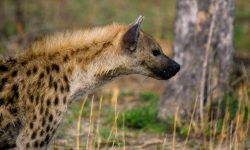 Hyena HD pictures