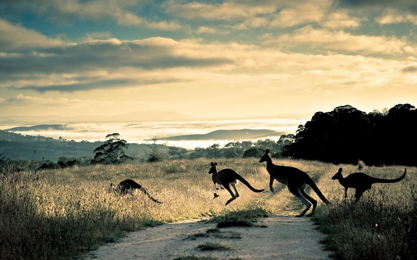 Kangaroo HD pictures