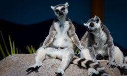 Lemur HD pictures