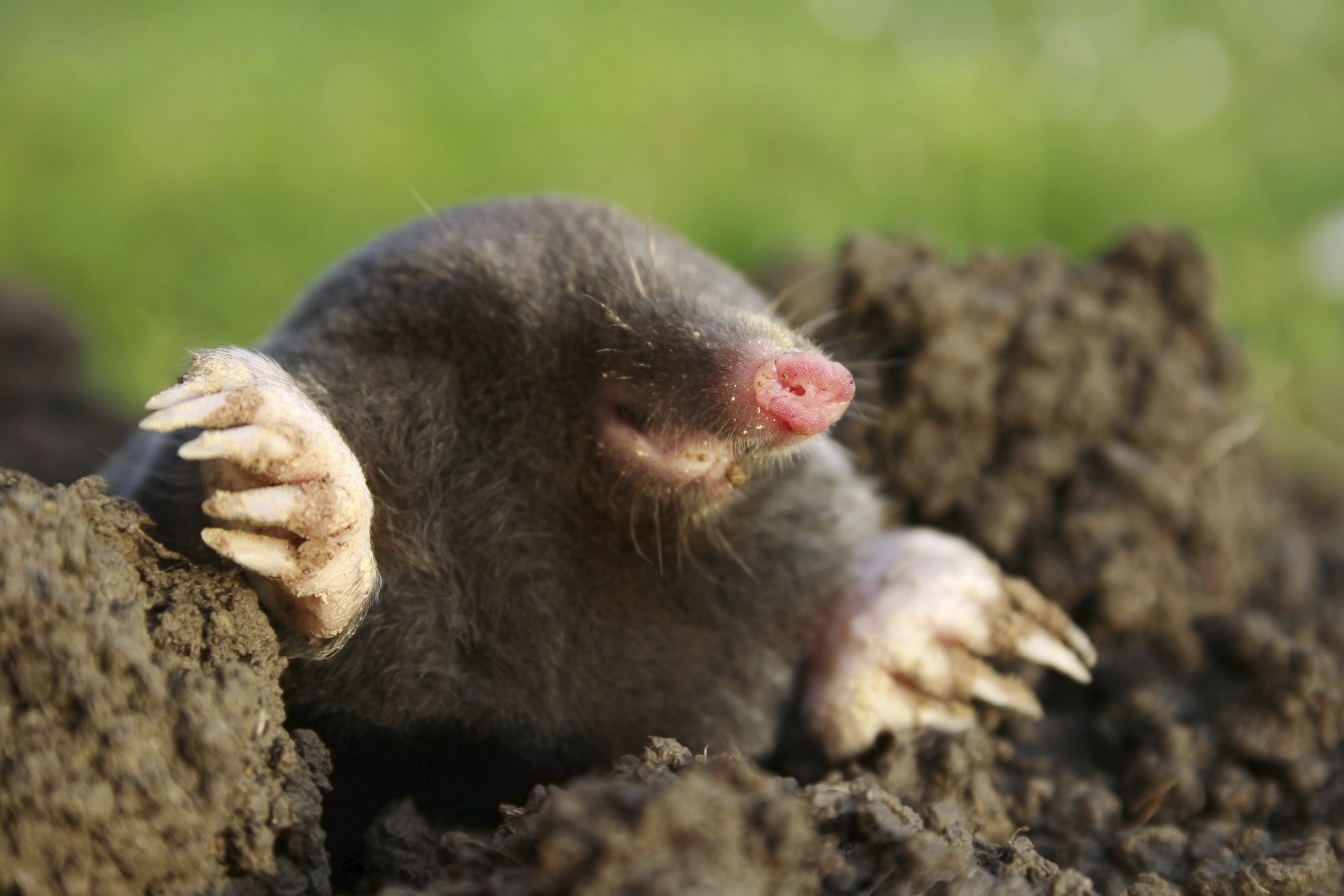 Mole HD pictures