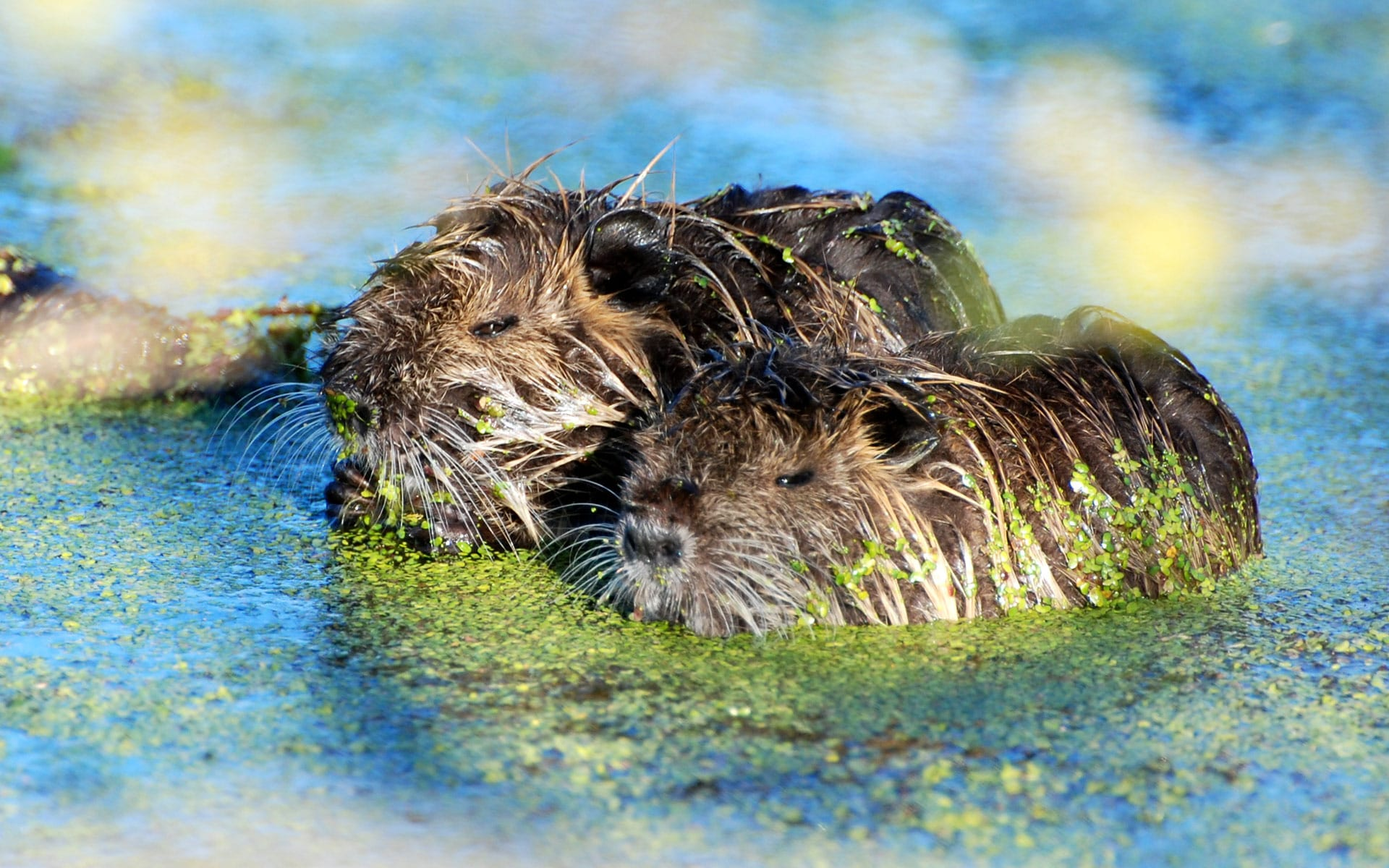 Nutria Background