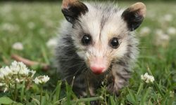 Opossum HD pictures