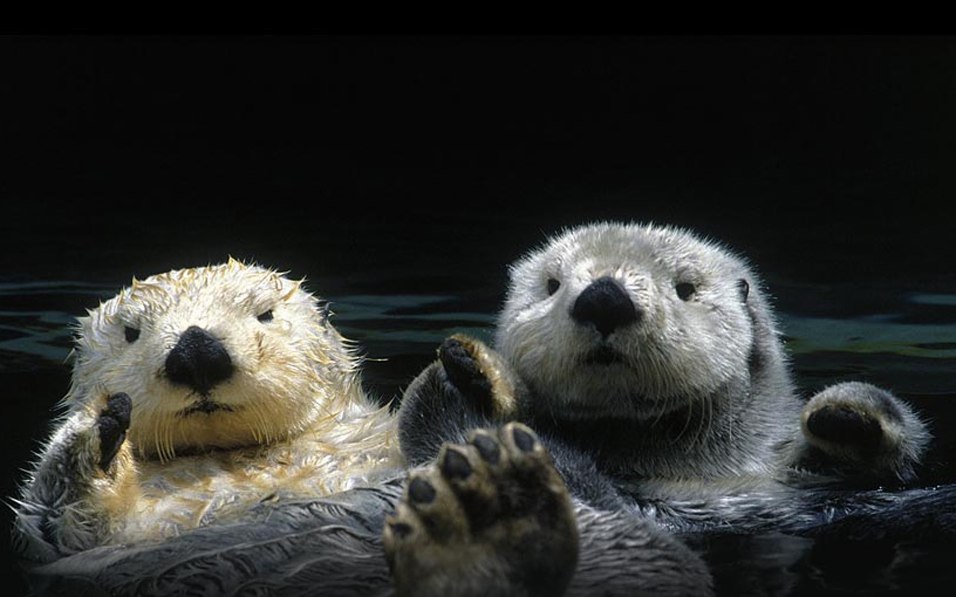 Otter HD pictures