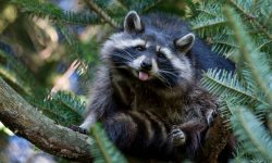 Raccoon HD pictures