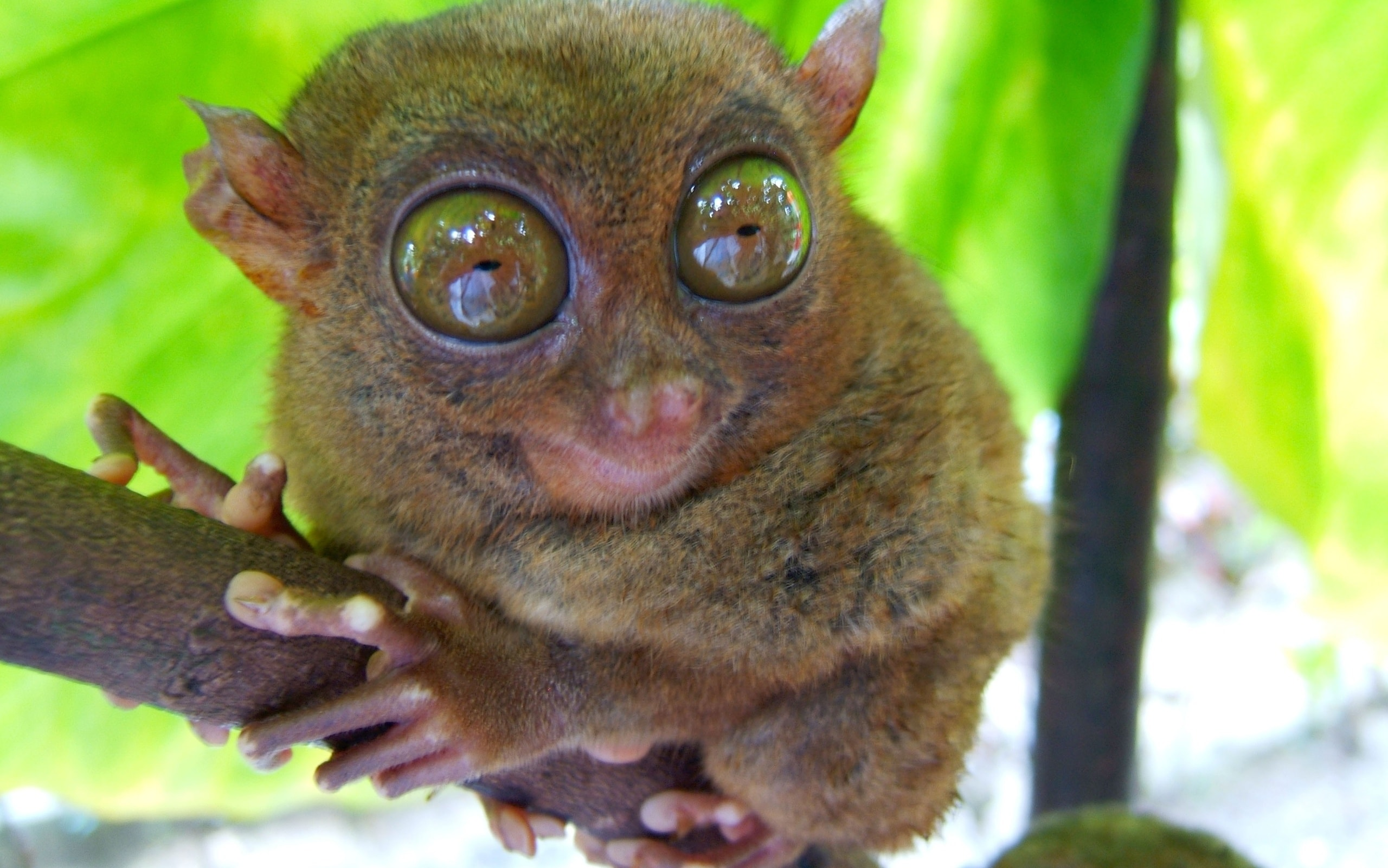 Tarsier HD pictures
