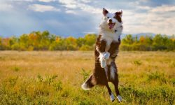 Australian Shepherd Desktop wallpaper
