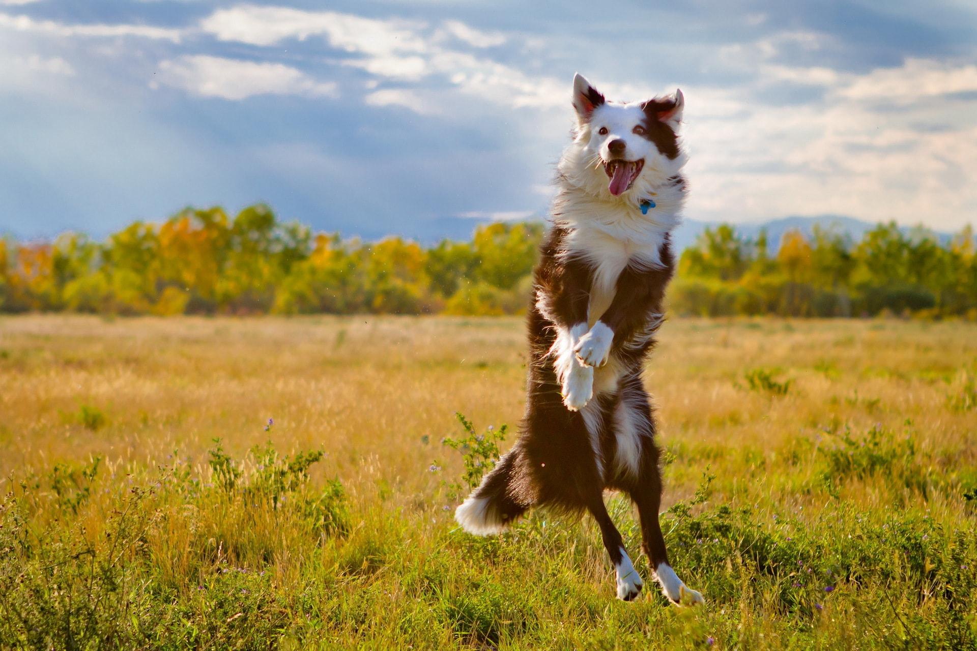 Australian Shepherd Desktop wallpaper