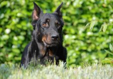 Beauceron Desktop wallpaper
