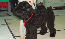 Black Russian Terrier High