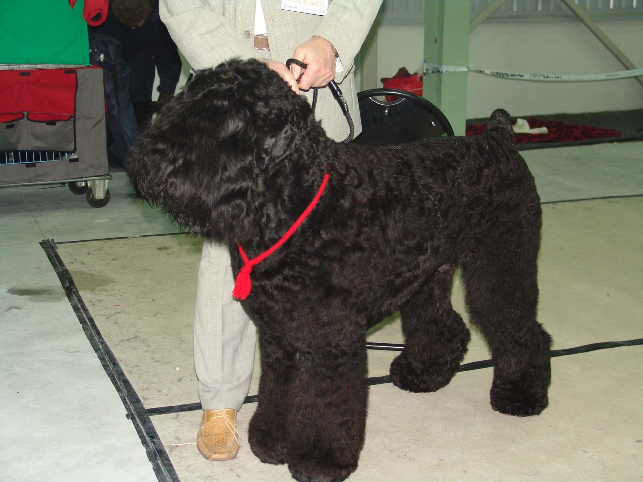 Black Russian Terrier High