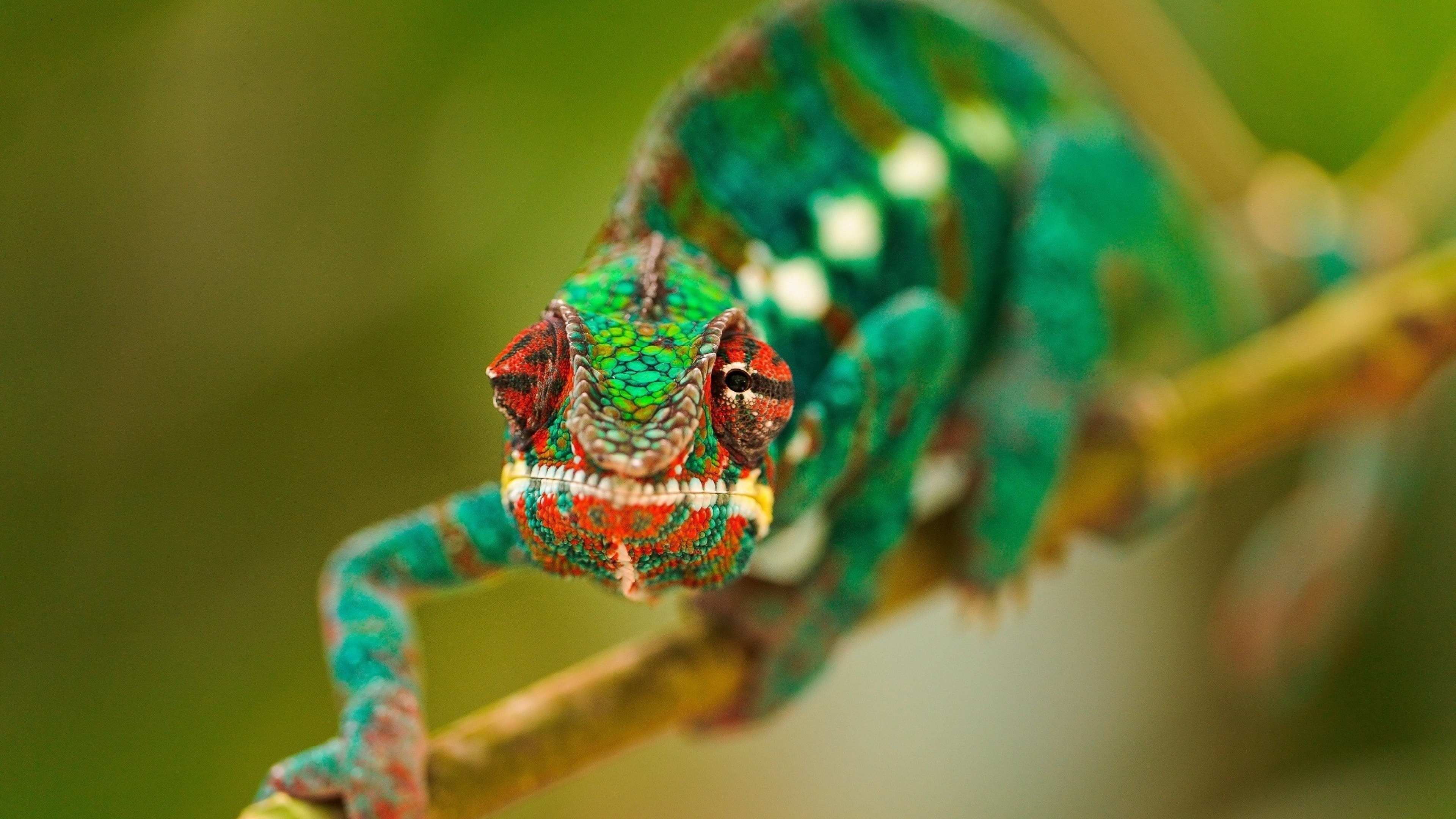 Chameleon Desktop wallpaper