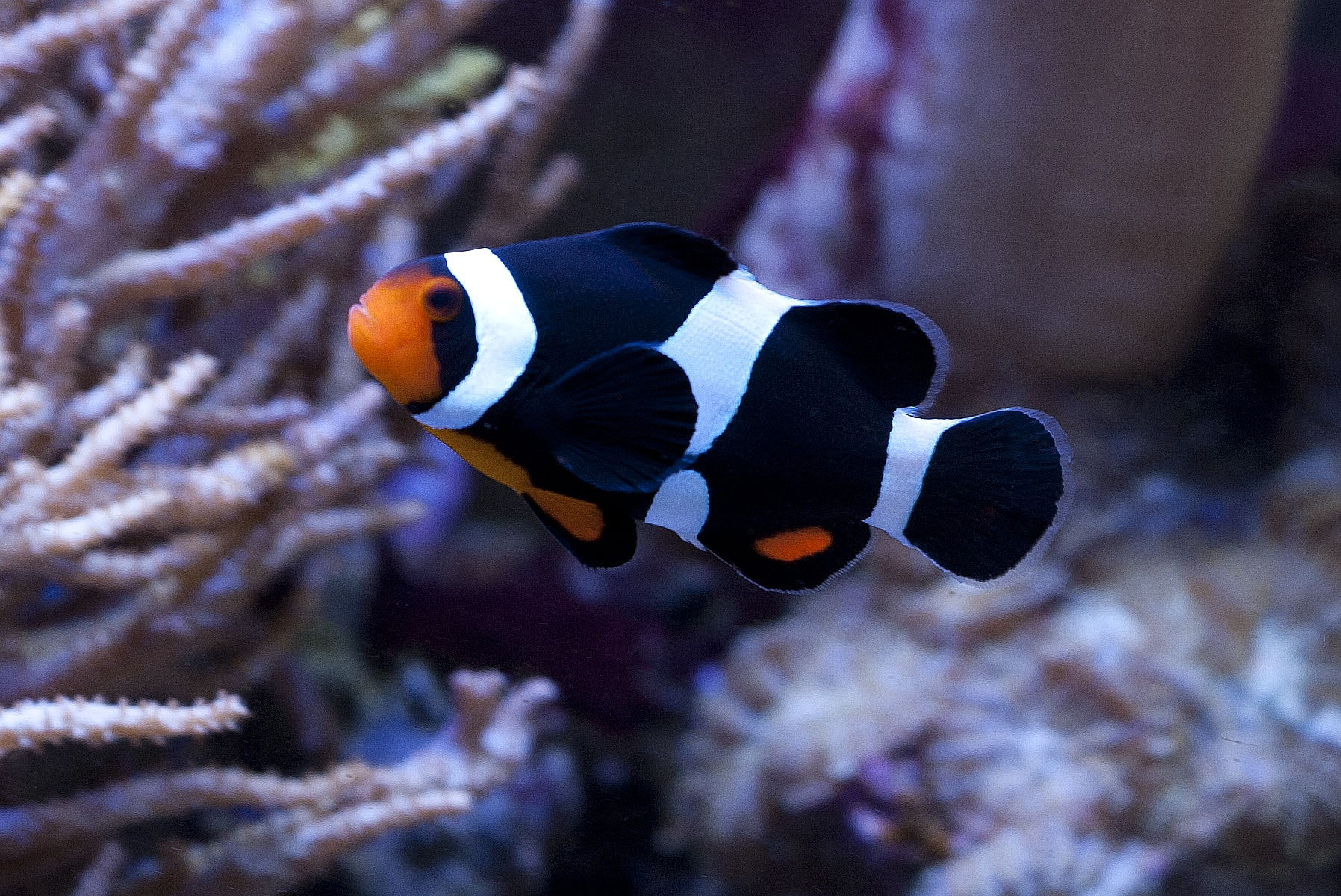 Clownfish Desktop wallpaper
