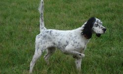 English setter Desktop wallpaper