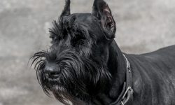 Giant Schnauzer Desktop wallpaper