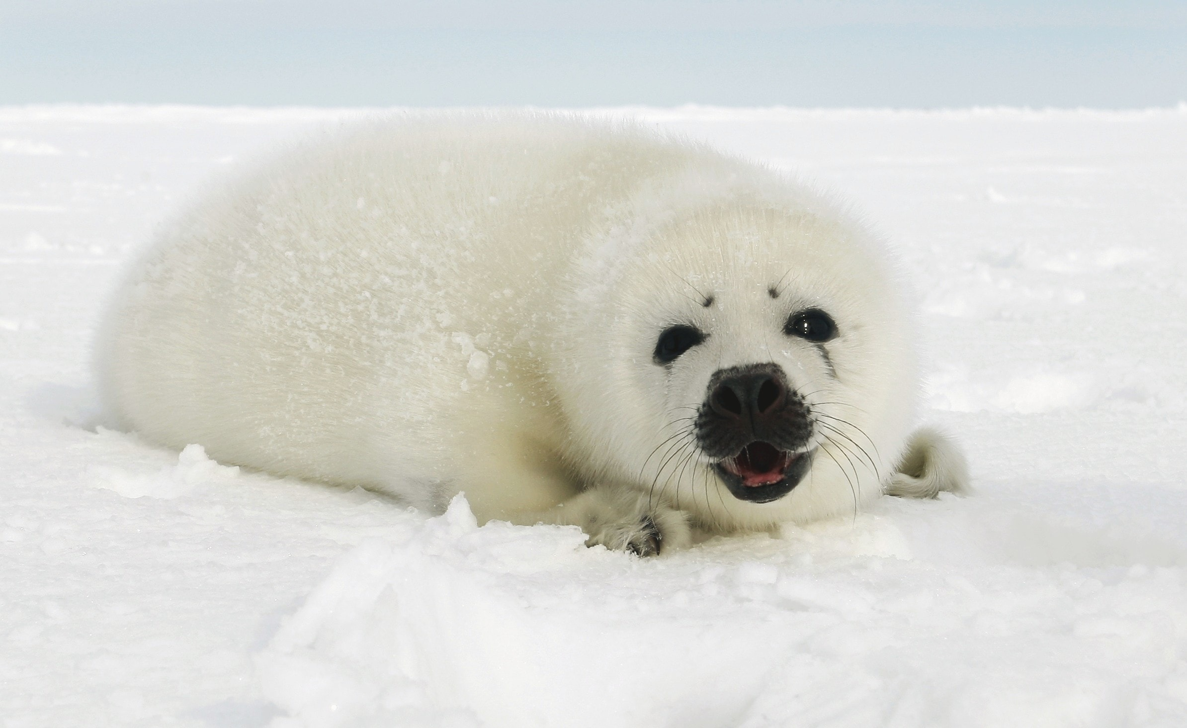 Harp seal Desktop wallpaper