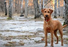 Irish Terrier Desktop wallpaper