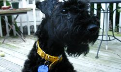 Kerry Blue Terrier Desktop wallpaper