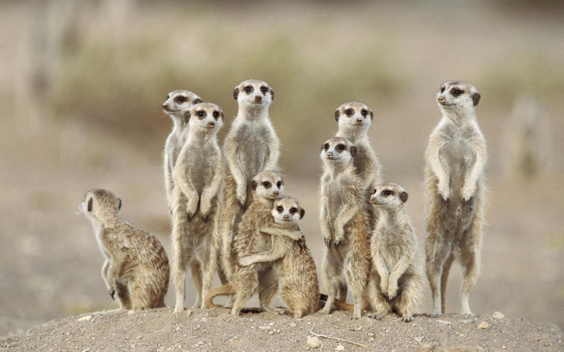 Meerkat Desktop wallpaper