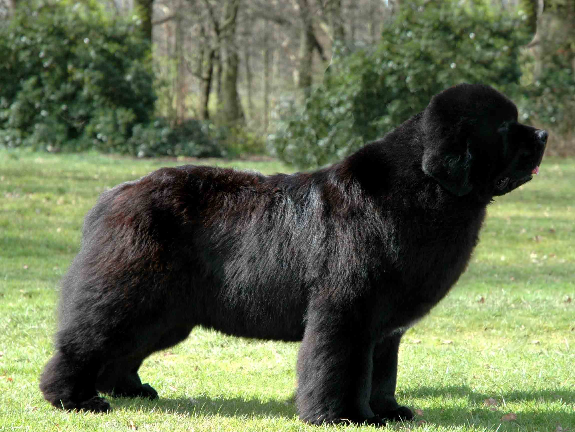 Newfoundland Dog Desktop wallpaper