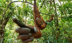 Orangutan widescreen