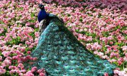 Peacock Desktop wallpaper