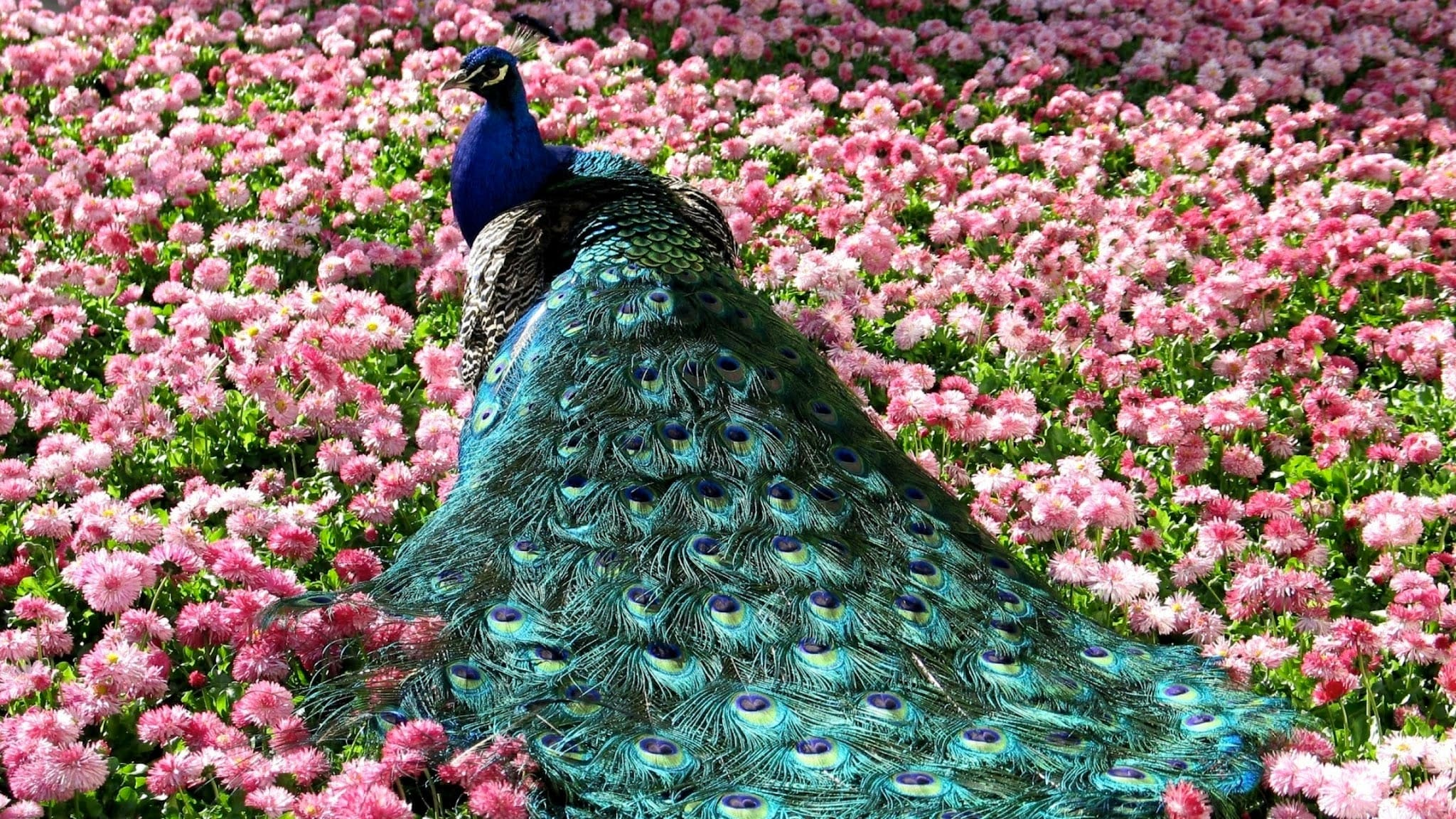 Peacock Desktop wallpaper